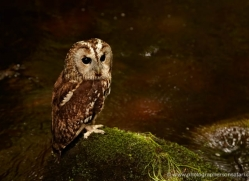 tawny-owl-4165-northumberland-copyright-photographers-on-safari-com