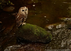 tawny-owl-4166-northumberland-copyright-photographers-on-safari-com
