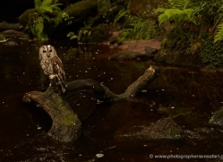 tawny-owl-4167-northumberland-copyright-photographers-on-safari-com