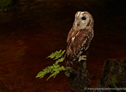 tawny-owl-4169-northumberland-copyright-photographers-on-safari-com