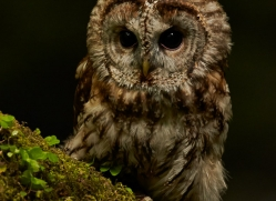 tawny-owl-copyright-photographers-on-safari-com-8562