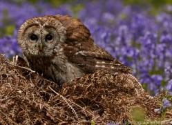 tawny-owl-copyright-photographers-on-safari-com-8563