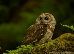 tawny-owl-copyright-photographers-on-safari-com-8564