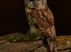 tawny-owl-copyright-photographers-on-safari-com-8565
