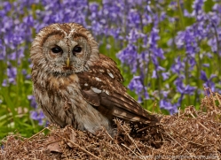 tawny-owl-copyright-photographers-on-safari-com-8567