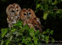 tawny-owl-copyright-photographers-on-safari-com-8568