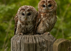 tawny-owl-copyright-photographers-on-safari-com-8569