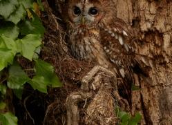 tawny-owl-copyright-photographers-on-safari-com-8571