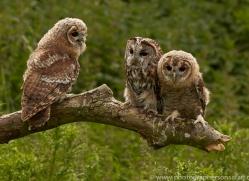 tawny-owl-copyright-photographers-on-safari-com-8572