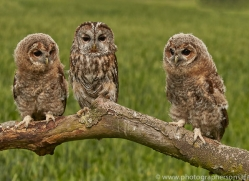 tawny-owl-copyright-photographers-on-safari-com-8573