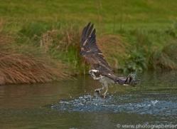 osprey-hide-rutland-copyright-photographers-on-safari-com-9460