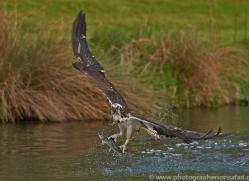 osprey-hide-rutland-copyright-photographers-on-safari-com-9462