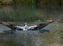 osprey-hide-rutland-copyright-photographers-on-safari-com-9466