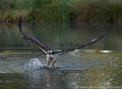 osprey-hide-rutland-copyright-photographers-on-safari-com-9470