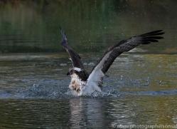 osprey-hide-rutland-copyright-photographers-on-safari-com-9472