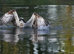 osprey-hide-rutland-copyright-photographers-on-safari-com-9475