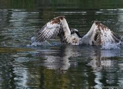osprey-hide-rutland-copyright-photographers-on-safari-com-9476