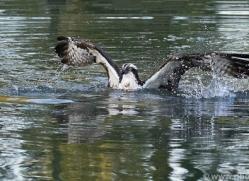 osprey-hide-rutland-copyright-photographers-on-safari-com-9477