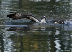 osprey-hide-rutland-copyright-photographers-on-safari-com-9478
