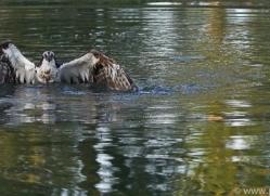 osprey-hide-rutland-copyright-photographers-on-safari-com-9479