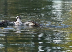 osprey-hide-rutland-copyright-photographers-on-safari-com-9480