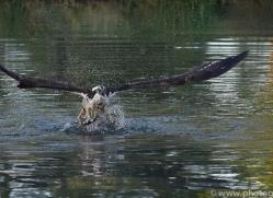 osprey-hide-rutland-copyright-photographers-on-safari-com-9482