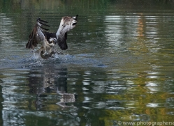 osprey-hide-rutland-copyright-photographers-on-safari-com-9483