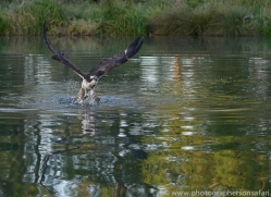 osprey-hide-rutland-copyright-photographers-on-safari-com-9484