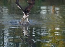 osprey-hide-rutland-copyright-photographers-on-safari-com-9485
