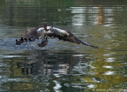 osprey-hide-rutland-copyright-photographers-on-safari-com-9486