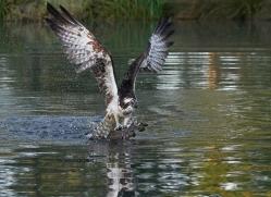 osprey-hide-rutland-copyright-photographers-on-safari-com-9488