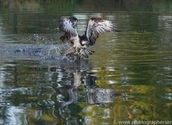 osprey-hide-rutland-copyright-photographers-on-safari-com-9490