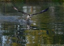 osprey-hide-rutland-copyright-photographers-on-safari-com-9492
