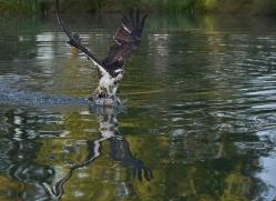osprey-hide-rutland-copyright-photographers-on-safari-com-9494