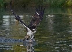 osprey-hide-rutland-copyright-photographers-on-safari-com-9495