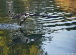 osprey-hide-rutland-copyright-photographers-on-safari-com-9497