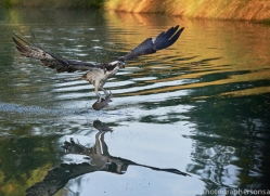 osprey-hide-rutland-copyright-photographers-on-safari-com-9499