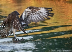 osprey-hide-rutland-copyright-photographers-on-safari-com-9500