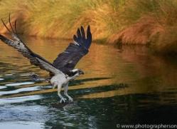 osprey-hide-rutland-copyright-photographers-on-safari-com-9501