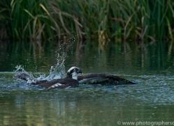 osprey-hide-rutland-copyright-photographers-on-safari-com-9502