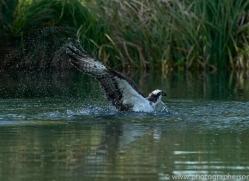 osprey-hide-rutland-copyright-photographers-on-safari-com-9503