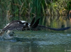 osprey-hide-rutland-copyright-photographers-on-safari-com-9504