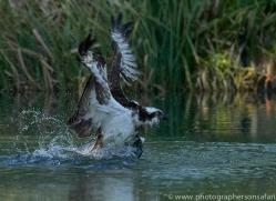 osprey-hide-rutland-copyright-photographers-on-safari-com-9505