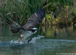 osprey-hide-rutland-copyright-photographers-on-safari-com-9506