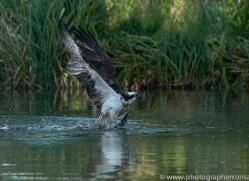 osprey-hide-rutland-copyright-photographers-on-safari-com-9507