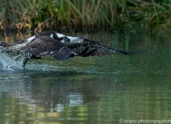 osprey-hide-rutland-copyright-photographers-on-safari-com-9508
