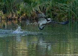 osprey-hide-rutland-copyright-photographers-on-safari-com-9510