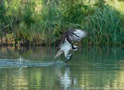 osprey-hide-rutland-copyright-photographers-on-safari-com-9511