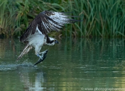 osprey-hide-rutland-copyright-photographers-on-safari-com-9512