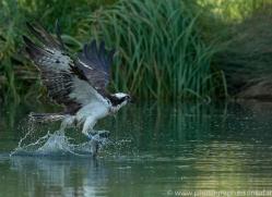 osprey-hide-rutland-copyright-photographers-on-safari-com-9514